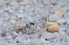 Ellipsoptera lepida, Ghost Tiger Beetle; Ocean County, New Jersey 2014-08-04   3