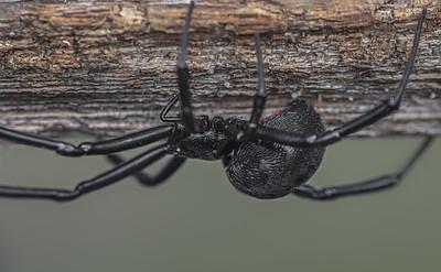Southern black widow