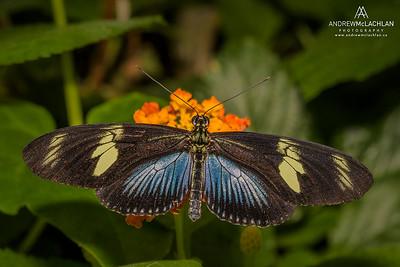 Doris (Heliconius doris) blue form