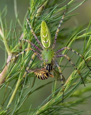 Green lynx spider (Peucetia viridans)  Southern yellowjacket (Vespula squamosa)