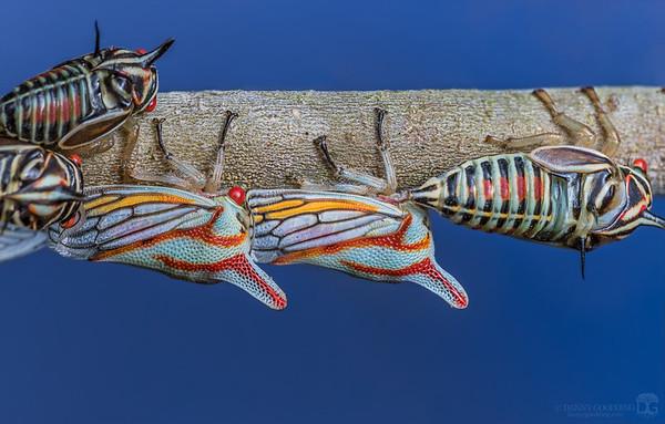 Oak treehoppers