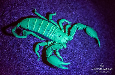 Flat Rock Scorpion (Hadogenes troglodytes) under Ultraviolet Light