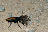 Pepsis thisbe, Tarantula Hawk; Santa Cruz County, Arizona 2008-08-07