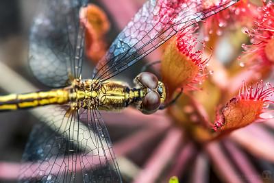 Dragonfly stuck on sundew
