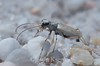Ellipsoptera lepida, Ghost Tiger Beetle; Ocean County, New Jersey 2014-07-10   3