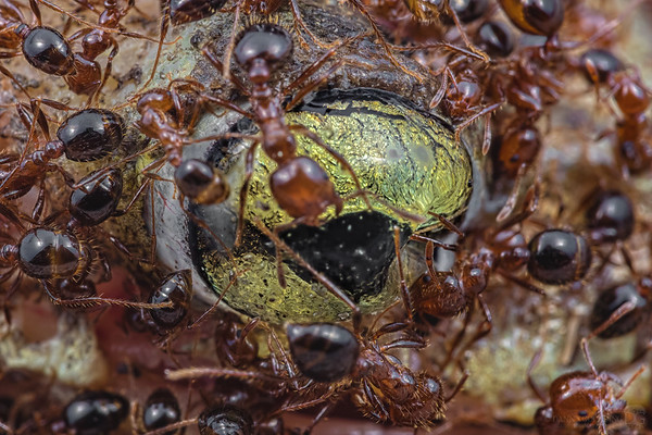 Fire ant clean up crew