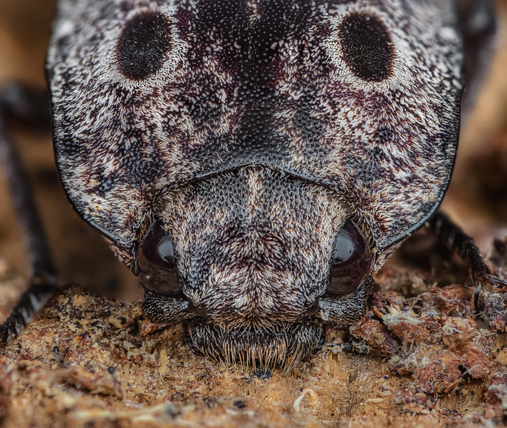 Blind click beetle