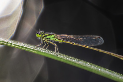 Damselfly in early morning sunlight
