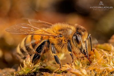 Honeybee, Thornton, Ontario, Canada