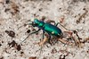 Cicindela scutellaris, Festive Tiger Beetle; Ocean County, New Jersey 2014-09-14   11