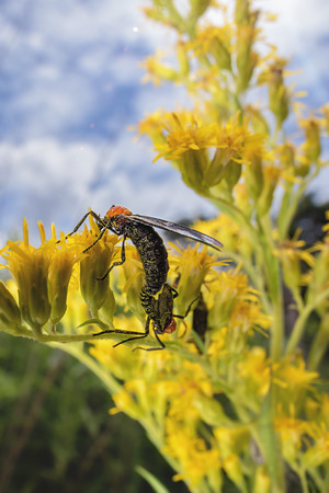 Lovebugs doing their thing on a goldenrod plant