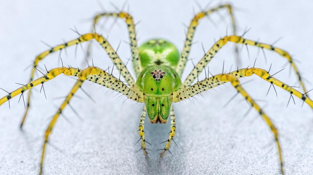 Green lynx spider (Peucetia viridans) [OC] [1280x718]
