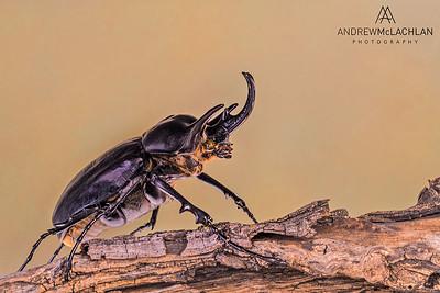 Phinocerous Beetle - presereved specimen