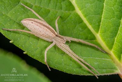 Slender Crab Spider (Tibellus oblongus)