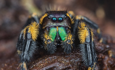 canopy jumping spider