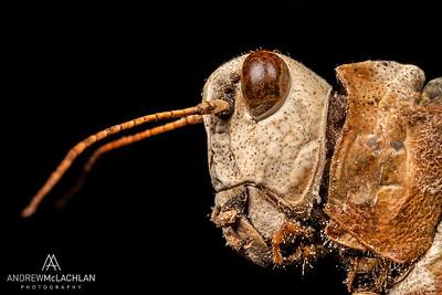 Pallid-winged grasshopper (Trimerotropis pallidipennis) - dead specimen