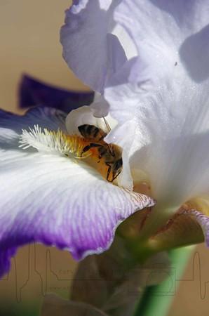 Iris Nectar