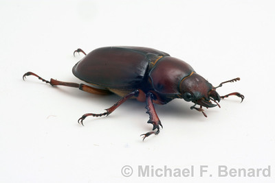Female Reddish-Brown Stage Beetle