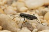 Cicindelidia rufiventris, Eastern Red-Bellied Tiger Beetle; Ocean County, New Jersey 2014-07-19   6