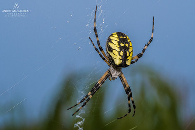 Black and Yellow Garden Spider (Argiope aurantia), Ontario, Canada
