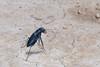 Cicindelidia nigrocoerulea, Dark Sky Tiger Beetle; Cochise County, Arizona 2014-07-29   12