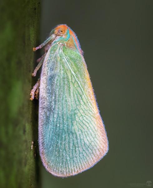 Palm flatid planthopper