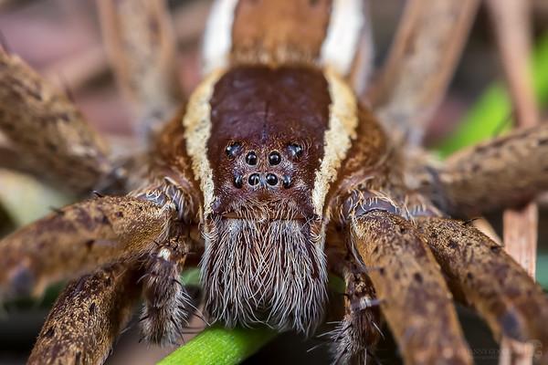 Nursery web spider