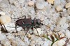 Cicindela purpurea, Purple Tiger Beetle; Ocean County, New Jersey 2014-09-14   2