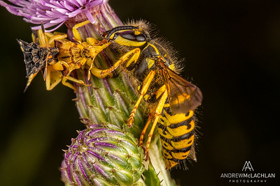 Jagged Ambush Bug with Sandhills Hornet