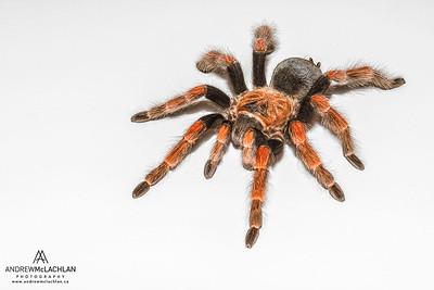 Flame Leg Tarantula (Brachypelma boehmei) - captive bred