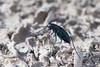Cicindelidia nigrocoerulea, Dark Sky Tiger Beetle; Cochise County, Arizona 2014-07-24   5