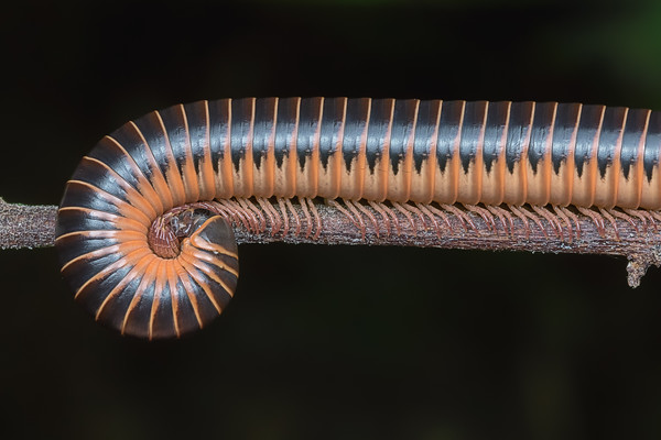 Florida ivory millipede