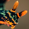 Nembroth Nudibranch Closeup