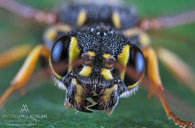 Hyperparasitic Wasp (Taeniogonalos gundlachii)