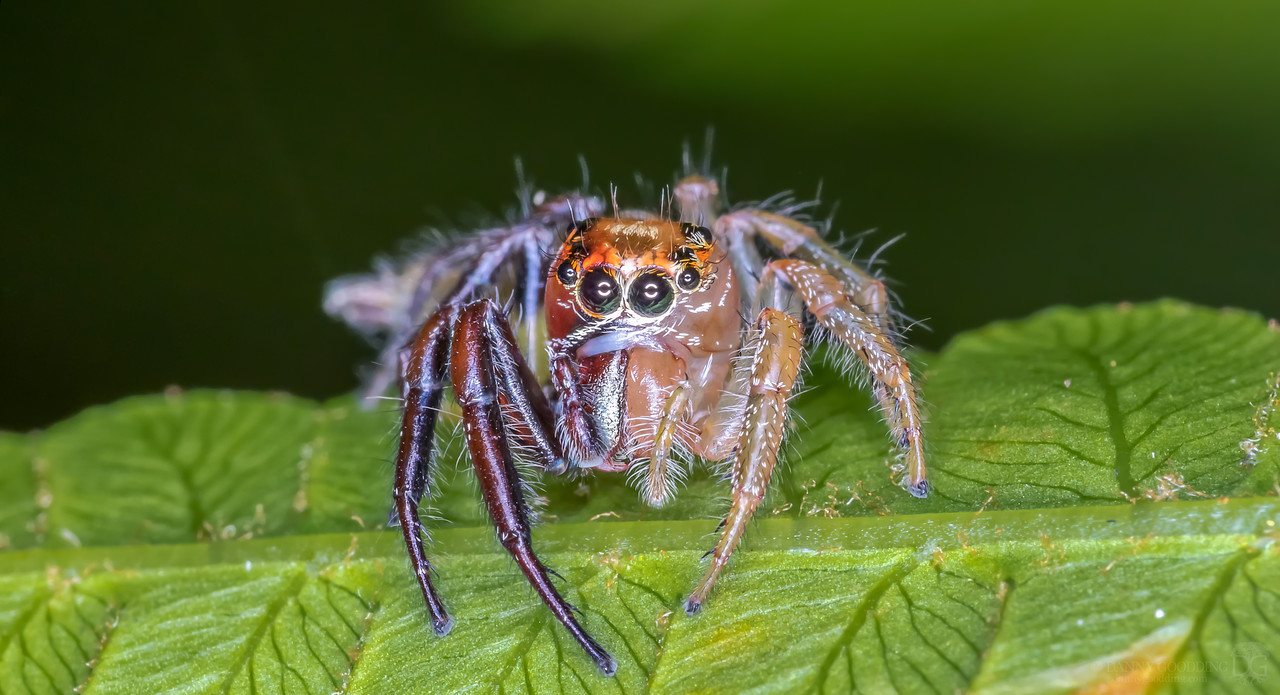 A gynandromorphic (half-male-half-female) jumping spider I found recently [OC] [1280x694]
