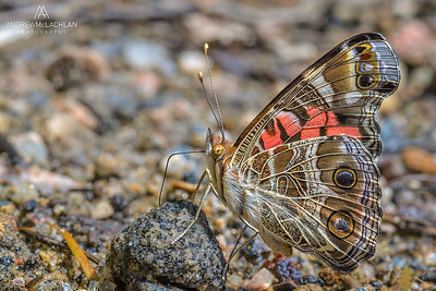 Red ADmiral Butterfly (Vanessa atalanta) Parry Sound, Ontario