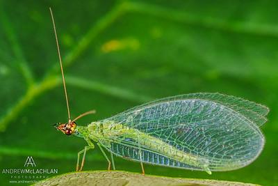 Green Lacewing (Chrysoperla rufilabris)