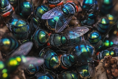 Bluebottle flies