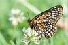 Euphydryas phaeton, Baltimore Checkerspot; Bucks County, Pennsylvania 2015-06-22   5
