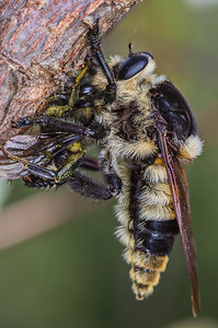 Massive bee killing robberfly