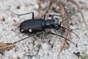 "Cicindela scutellaris ""modesta"", Festive Tiger Beetle; Ocean County, New Jersey 2014-09-14   9"