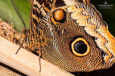 Owl Butterfly (Caligo sp.)
