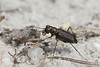 Cicindelidia punctulata, Punctured Tiger Beetle; Ocean County, New Jersey 2014-07-12   7