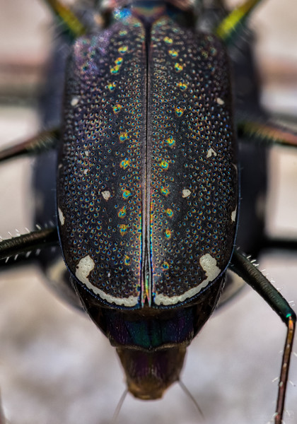 Mating punctured tiger beetles