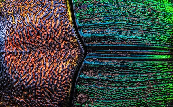 Rainbow scarab beetle pronotum and elytra