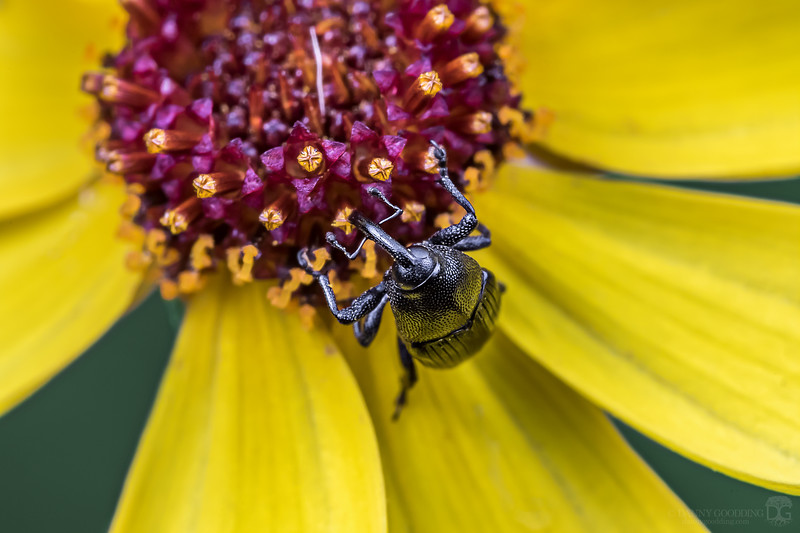 Weevil sp. on a Coreopsis sp. flower