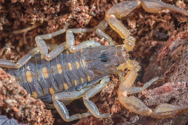Hentz striped scorpion
