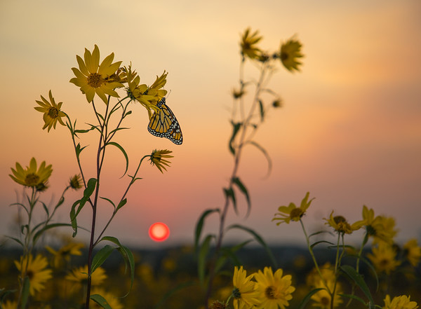 AUGUST | Monarch Butterfly, Badger Prairie Park