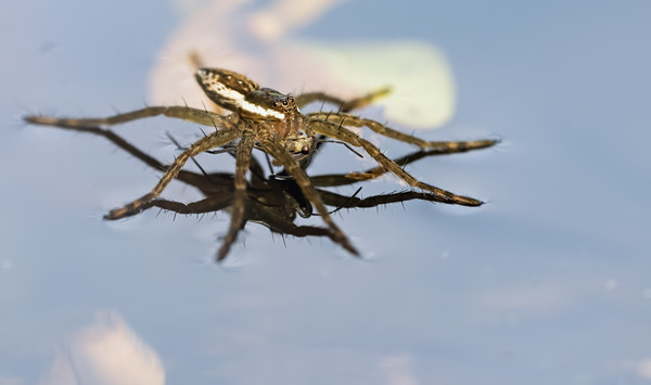 Six spotted fishing spider with a water strider meal