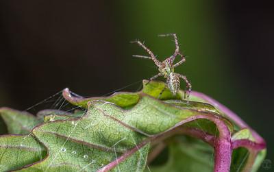 Green lynx spiderling